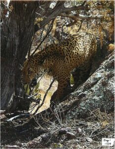 Photo of jaguar, Animas Mts, Warner Glenn