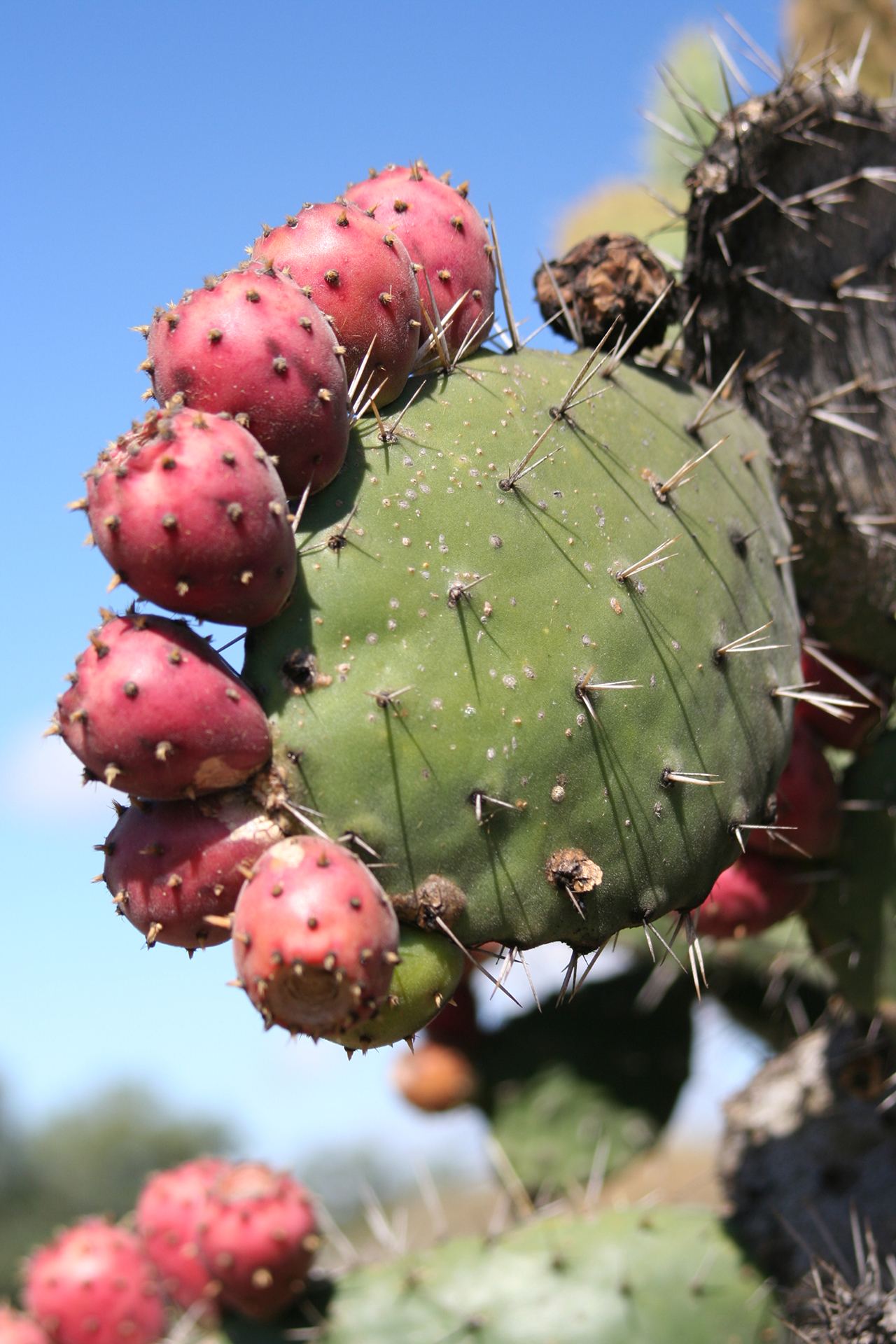 f8a0762df57 You do not even have to buy Prickly pears from a store, since anyone can  grow these ingredients within their own garden if they wish to attempt to  remove ...