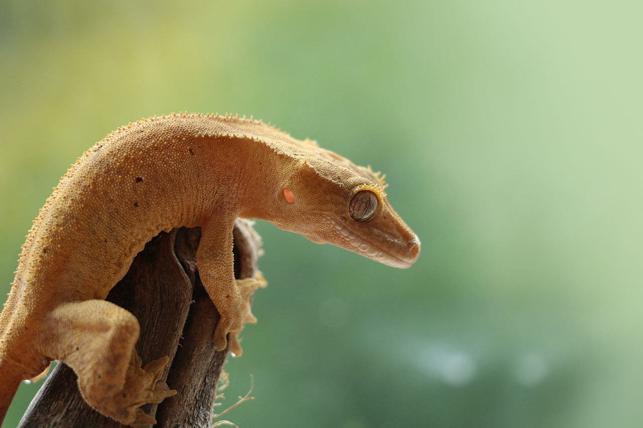 Luck of the Gecko - Humanities for the Environment