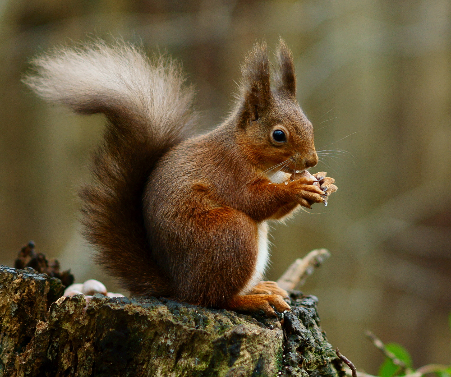 """Squirrels and Humans: """"Of Least Concern"""" - Humanities for the Environment    Humanities for the Environment"""